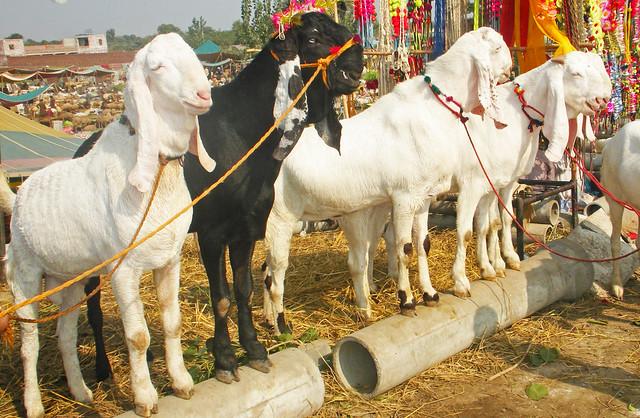 Beetal Goats in Pakistan | Male Beetal goats at Eid ...