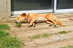 Tonto the Camp Dog Sleeping