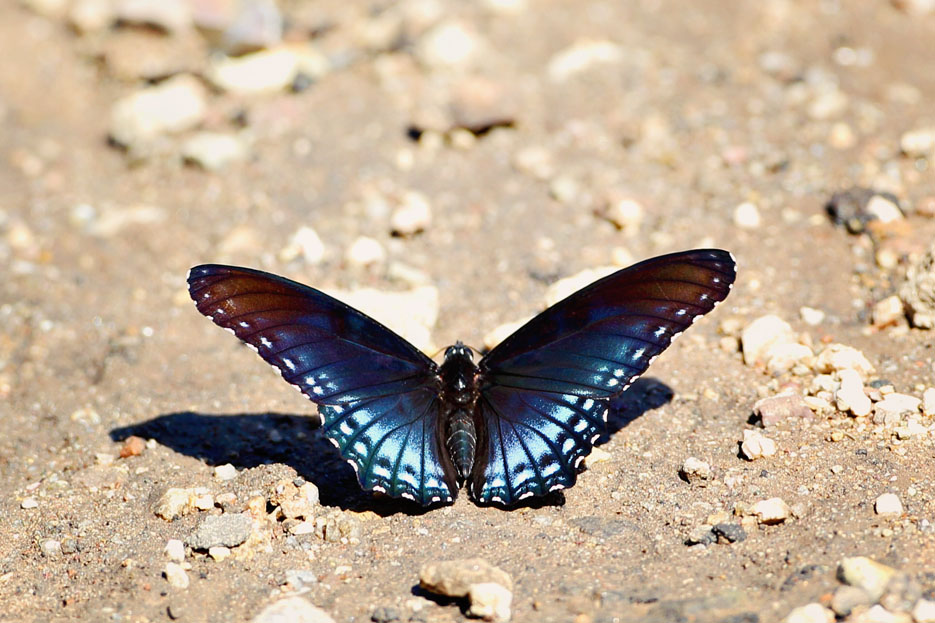 090312_02_butterfly_arizonaRedSpottedPurple03
