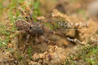 Litter Crab Spider (Borboropactus sp.) - DSC_5242