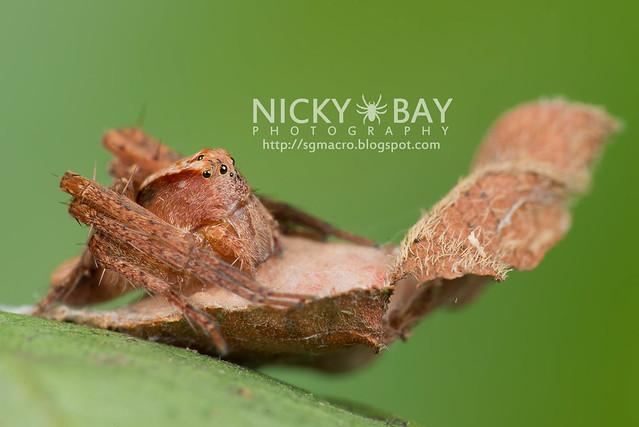 Lynx Spider (Oxyopidae) - DSC_3730