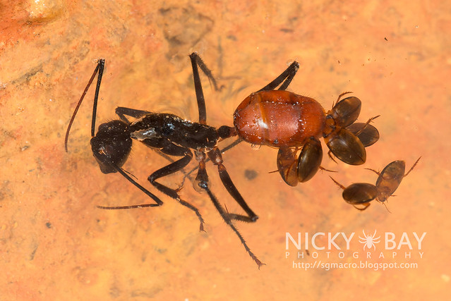 Forest Ant with Water Beetles - DSC_3779