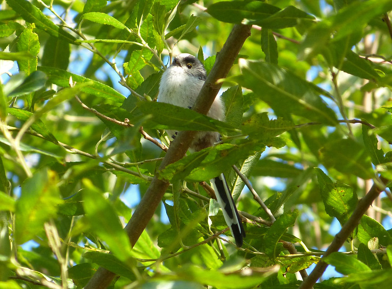 Long Tailed Tit - Goppa Hill