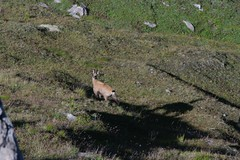 tundra(0.0), mountain goat(0.0), animal(1.0), deer(1.0), fauna(1.0), wilderness(1.0), chamois(1.0), wildlife(1.0),
