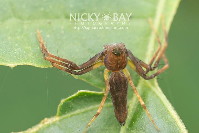 Lynx Spider (Oxyopidae) - DSC_5644