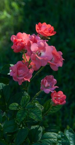 Polyantha rose 9-9-12 3529 lo-res
