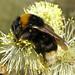 Bombus vestalis (Vestal Cuckoo-bee)