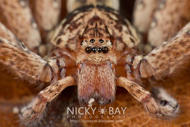 Huntsman Spider (Sparassidae) - DSC_9985
