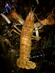 Yellow Lobster Landed By The F/V Orin C 9/28/12 At Captain Joe and Sons Lobster Company