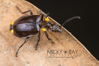 Ground Beetle (Carabidae) - DSC_8530