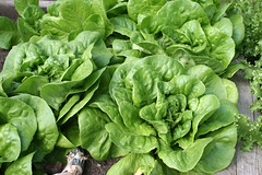 lettuce Butterhead Green, Ermosa 082