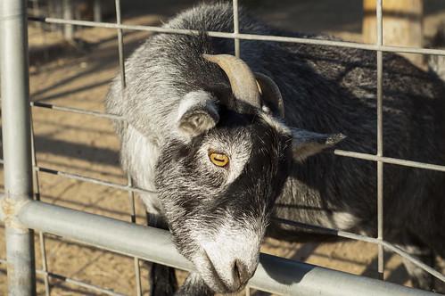 My Pygmy Goat Friend