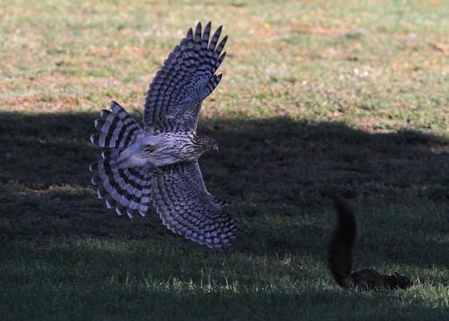 bird nature squirrel hawk flight birdwatcher sharpshinned avianexcellence faunainmotion naturelover2007