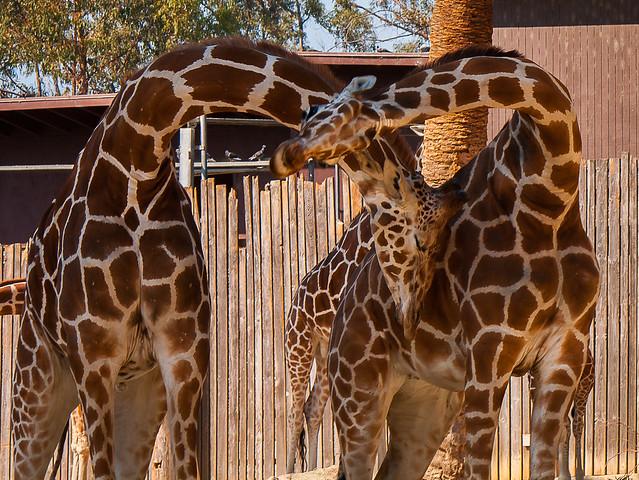 Aninimal Book: Giraffe Heart | Flickr - Photo Sharing!