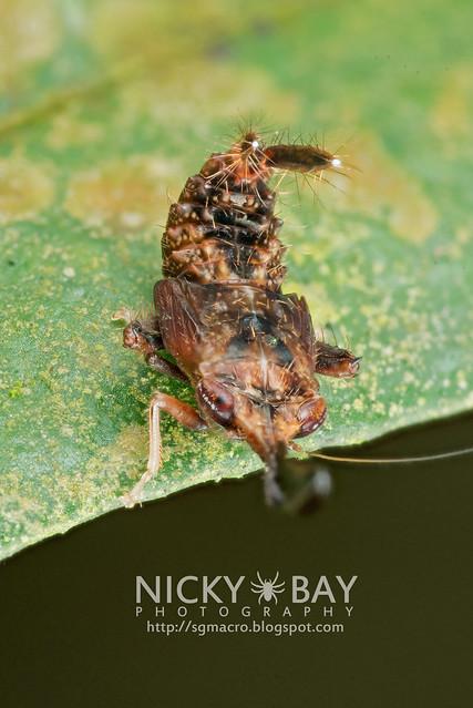 Fulgorid Planthopper (Fulgoridae?) - DSC_7878