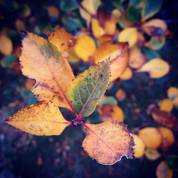 Burnished #leaves #shuttersisters #instamuse #perfectfallday