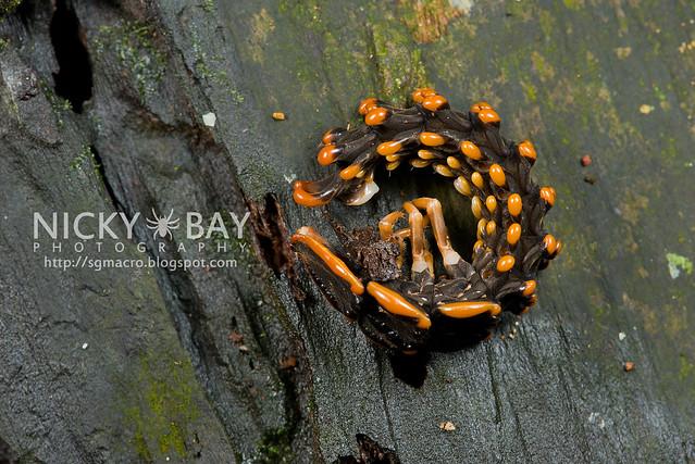Trilobite Beetle (Duliticola sp.) - DSC_7432