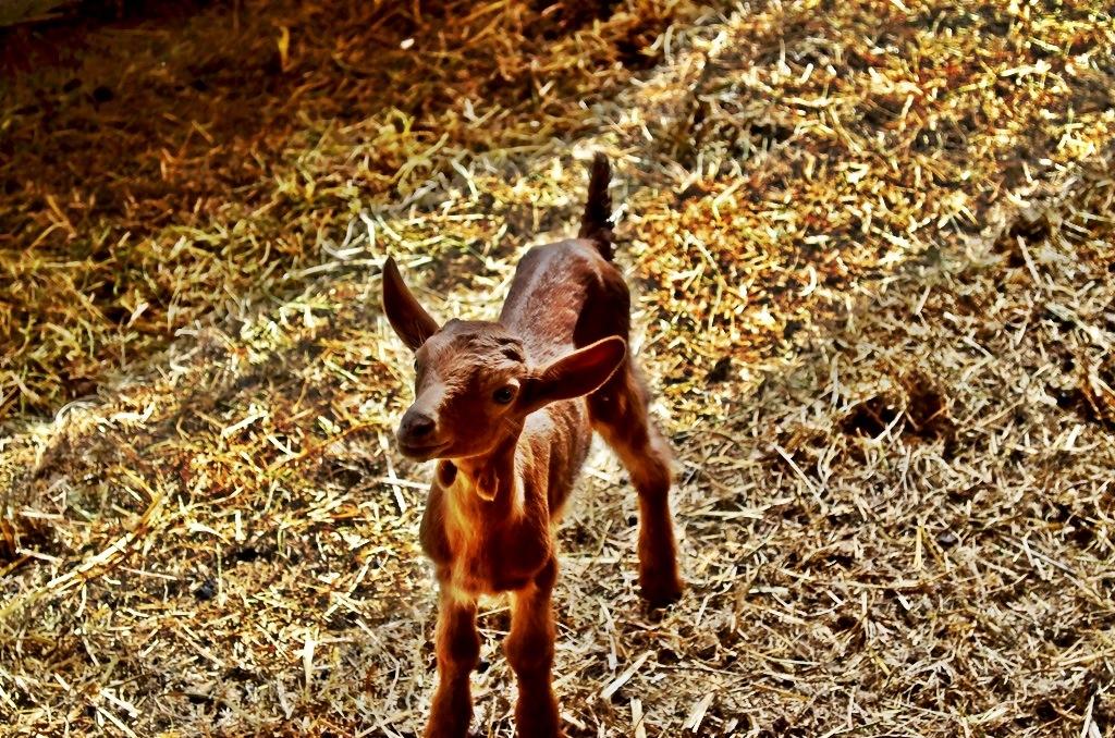 Baby goat in Vall de Bianya