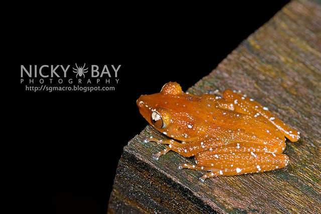 Spotted Tree Frog (Nyctixalus pictus) - DSC_6287