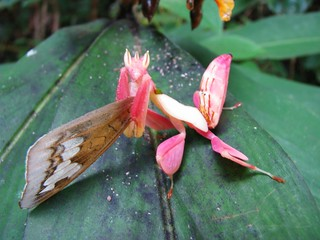 Orchid mantis after lunch