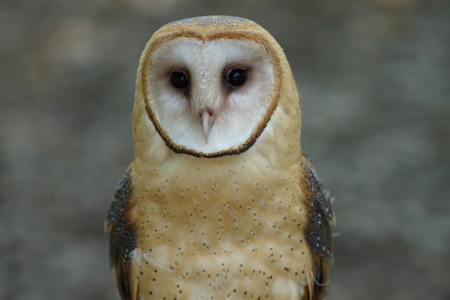 Bird Sanctuary - Barn Owl
