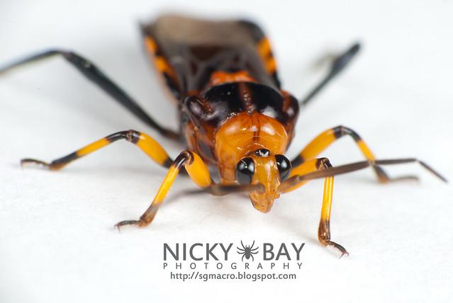 Assassin Bug (Reduviidae) - DSC_6350