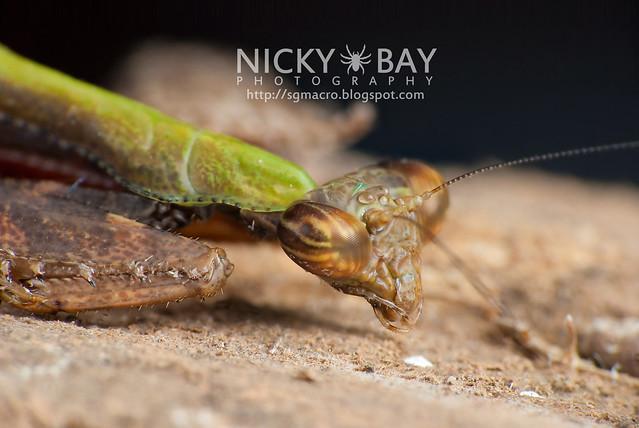 Praying Mantis (Acromantis sp.) - DSC_5668