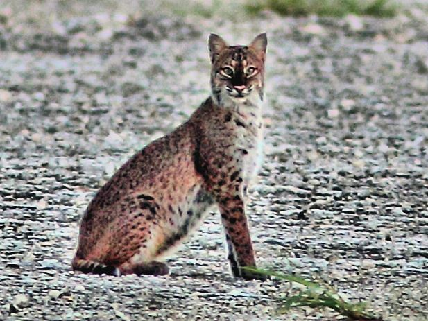 Bobcat close HDR 20121005