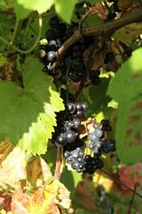 Ickworth Vineyard