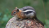 Golden-mantled Ground Squirrel - Pikes Peak, Colorado