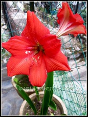 Brilliant scarlet-coloured Hippeastrum, changing to red as it ages, August 5 2012