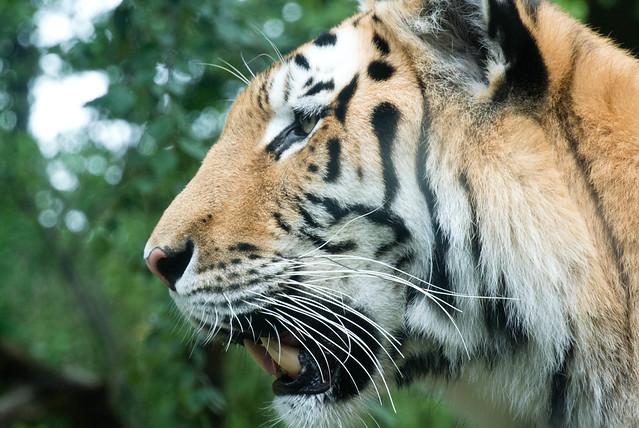 Tiger, take 2