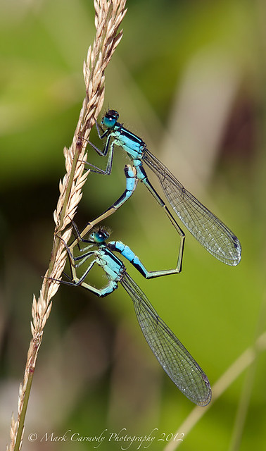 The Blue-tailed Damselfly, Ischnura elegans, is a European damselfly. Adult ...