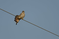 Kestrel_9578.jpg by Mully410 * Images