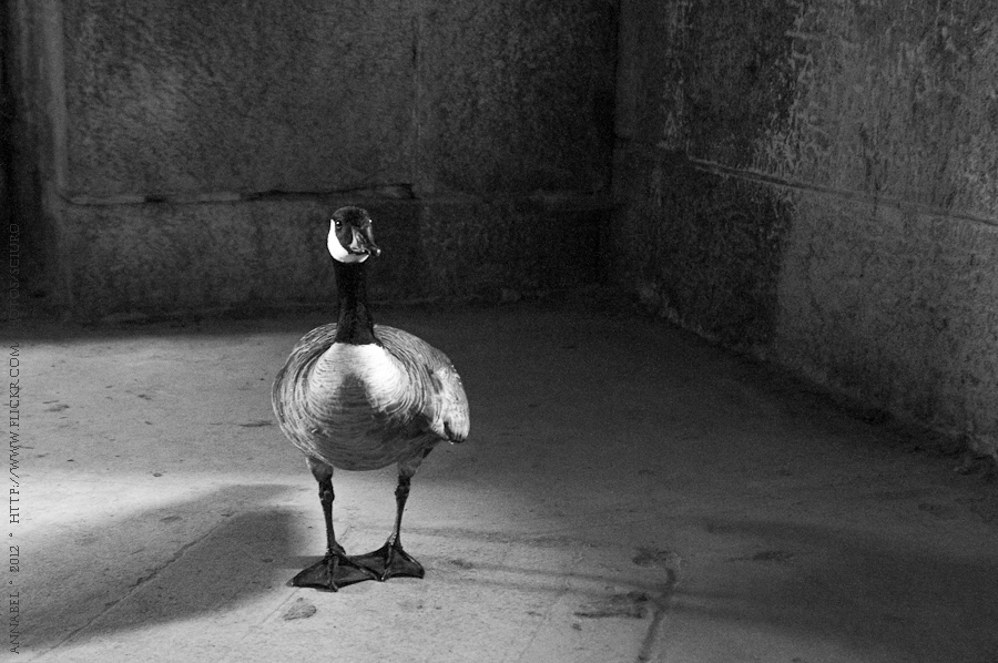 Fort Warren Goose