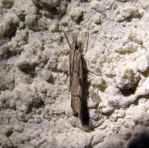 Agriphila inquinatella ou Agriphila geniculea à identifier - OLYMP075 020912