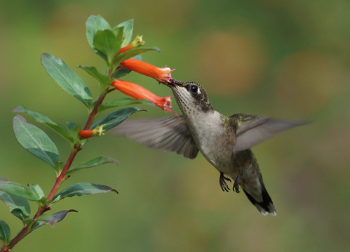Hungry Hungry Hummer! by conniee4