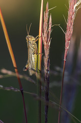 Grass Hopper_0862.jpg by Mully410 * Images