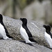 Razorbills (Colin Brown)