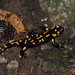 Fire Salamander (Jon Stokes)