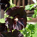 Small photo of Black hollyhock (Alcea rosea 'Nigra')