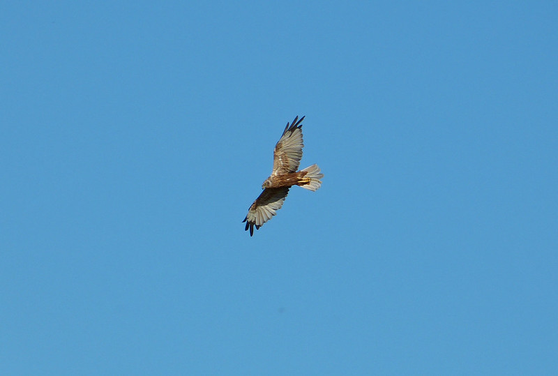 Marsh Harrier, Isle of Sheppey