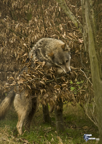 Wolf_200211_3639 by Joseph Pearson Images