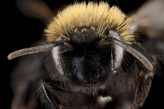 Andrena anograe, female, face_2012-08-06-15.41.48 ZS PMax