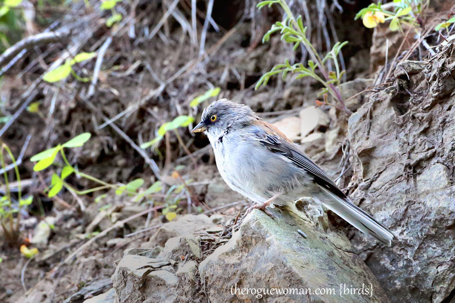 090212_04_bird_pass_yellowEyedJunco