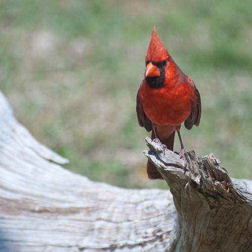 cardinal swirl
