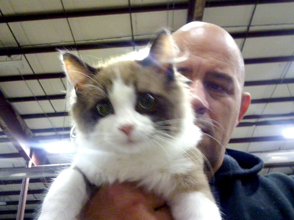 Ragdoll Cat Indoor Breed