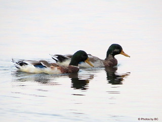 Swimming Ducks.