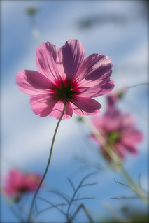 Cosmos bipinnatus 'Pink Sensation' enjoy the late summer sunshine
