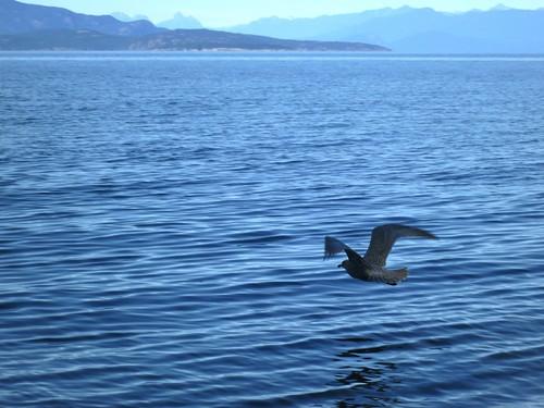 ocean blue sea bird evening flying twilight view dusk seagull gull low ripples parksville rathtrevorbeach oceanscape msh0513 msh05132